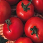 Tomato Moneymaker 20 seeds